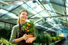 Portrait of pleased florist woman 20s wearing apron holding orange tree stock image