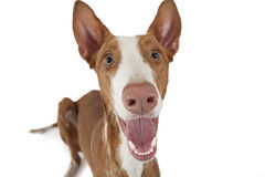 Portrait of Podenco ibicenco dog on white Royalty Free Stock Photography