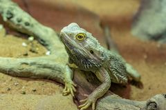 Portrait of Pogona vitticeps bearded dragon in its terrarium stock photography