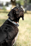 Portrait of a pointer Royalty Free Stock Image