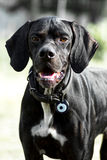 Portrait of a pointer royalty free stock photography