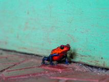 Portrait of a Poison Dart Frog stock photo