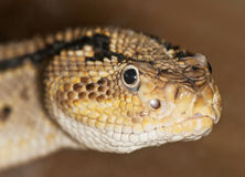 Portrait of a poisonous snake Stock Image
