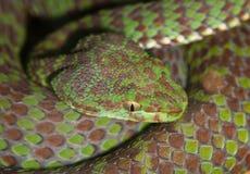 Portrait of poisonous snake Royalty Free Stock Photo