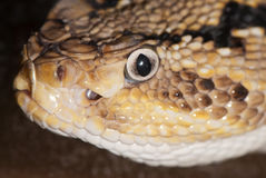Portrait of a poisonous snake Royalty Free Stock Images