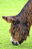 Portrait of Poitevin donkey Stock Photography