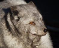 Portrait polaire de renard photo libre de droits