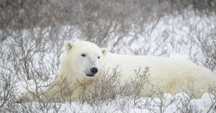 Portrait of a polar bear. The bear lies in undersized bushes. Snow Royalty Free Stock Images