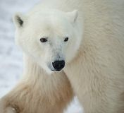 Portrait of a polar bear. Royalty Free Stock Image