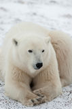 Portrait of a polar bear. Close up a stock photography