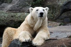 Portrait of a Polar Bear Stock Images