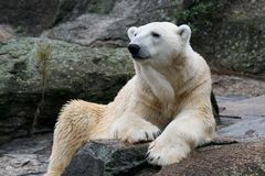 Portrait of a Polar Bear Royalty Free Stock Images