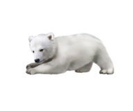 Portrait of a polar bear baby playing in the snow. Catching something royalty free stock photo