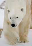 Portrait of a polar bear. Close-up. Canada. Stock Photo