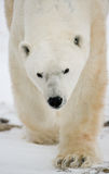 Portrait of a polar bear. Close-up. Canada. Stock Image