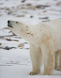 Portrait of a polar bear. Close-up. Canada. Royalty Free Stock Image