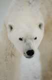 Portrait of a polar bear. Close-up. Canada. An excellent illustration Stock Image