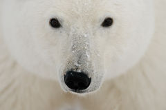 Portrait of a polar bear. Close-up. Canada. An excellent illustration stock photography