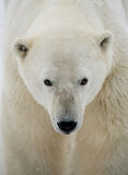 Portrait of a polar bear. Close-up. Canada. Stock Photography