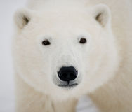 Portrait of a polar bear. Close-up. Canada. An excellent illustration Royalty Free Stock Photo