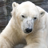 Portrait of polar bear Royalty Free Stock Images