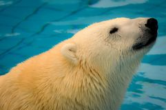 Portrait of a Polar Bear in a Pool. In a Zoo Stock Photo