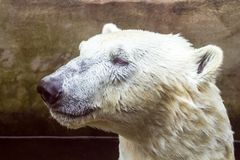 Portrait of a polar bear swimming in a pool. royalty free stock photography