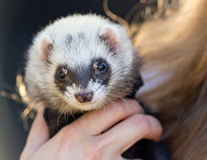 Portrait of a polecat Royalty Free Stock Photography