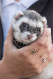 Portrait of a polecat Royalty Free Stock Images