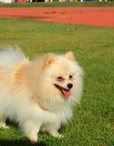 Portrait of a pomeranian dog Royalty Free Stock Photo
