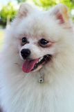 Portrait of a pomeranian dog Stock Photography
