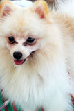 Portrait of a pomeranian dog Royalty Free Stock Image