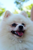 Portrait of a pomeranian dog Royalty Free Stock Photography