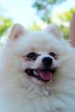 Portrait of a pomeranian dog Royalty Free Stock Photography