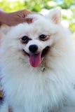 Portrait of a pomeranian dog Stock Images