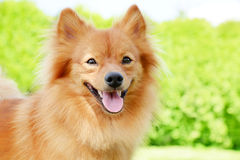 Portrait of a Pomeranian dog Royalty Free Stock Images