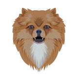 Portrait of pomeranian dog isolated on white background Royalty Free Stock Photos