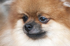 Portrait of pomeranian. Dog show. Stock Photography