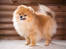 Portrait Pomeranian dog stock images
