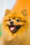 Portrait pomeranian mignon de chien Photos libres de droits