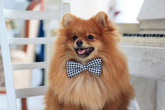 Portrait pomeranian puppy in the big chair. Royalty Free Stock Photography