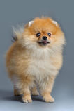 Portrait of pomeranian spitz Stock Photo
