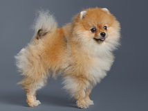 Portrait of pomeranian spitz Stock Image