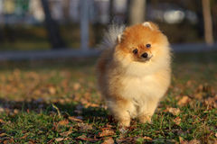 Portrait of pomeranian spitz Royalty Free Stock Photos