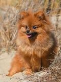 Pomeranian spitz in nature royalty free stock photos