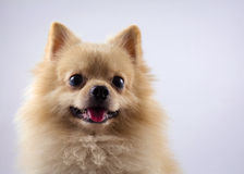 Portrait pomeranian spitz dog isolated on white backg Stock Images