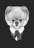 Portrait of Pomeranian in suit. Royalty Free Stock Images