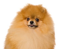 Portrait of Pomeranian on white background Stock Image