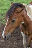 Portrait pony at the farm Royalty Free Stock Images