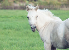 Portrait of pony  foal in the pasture Royalty Free Stock Photos